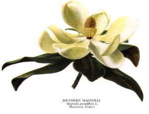 In 1900 The School Children Of Mississippi Selected Magnolia As State Flower 1952 Legislature Official